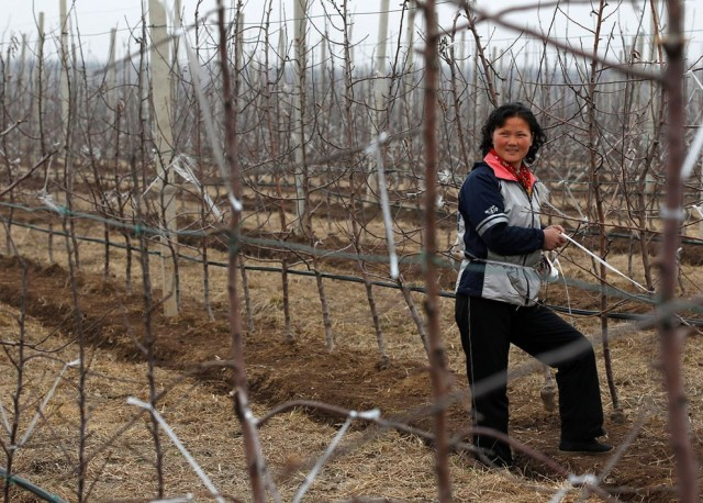 Women Working in North Korea - Fruit Farmer