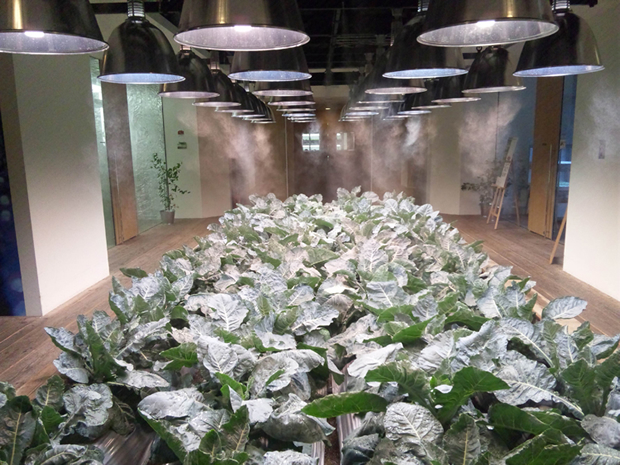 Pasona Farm - Cabbage