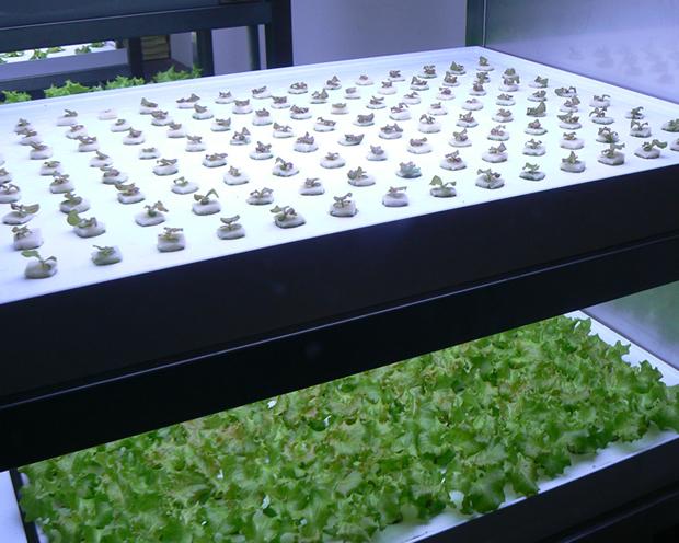 Pasona Farm - Lettuces