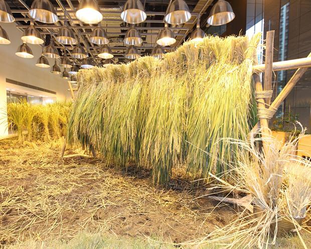 Pasona Farm - Rice Paddy 2