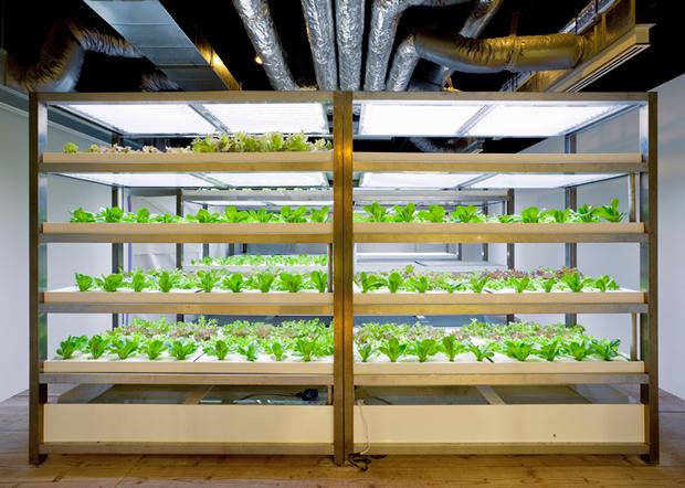 Pasona Farm - Urban Farm Lettuces